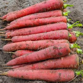 Redsun Hybrid Carrot