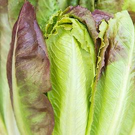 Cimarron Romaine Lettuce
