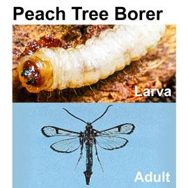 Peach Tree Borer Trap