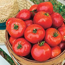 Celebration Hybrid Tomato