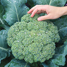 Gurney's® Blue Ribbon Hybrid Broccoli