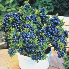 Tophat Dwarf Blueberry