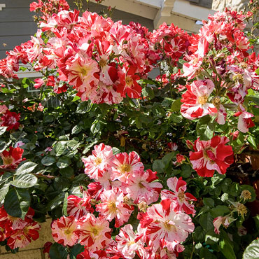 Fourth of July<sup>™</sup> Climbing Rose