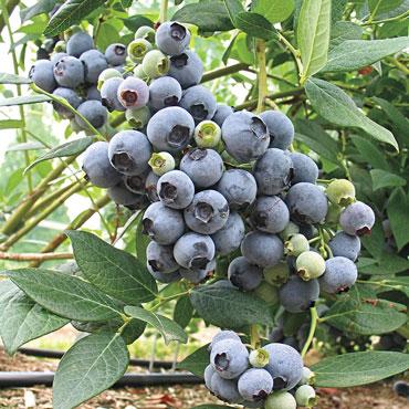 Camellia Southern Highbush Hybrid Blueberry