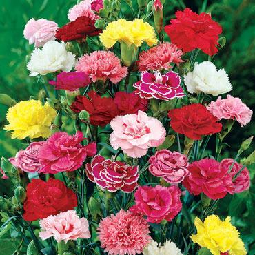 Hardy Carnation Mixed