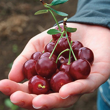 Romeo™ Dwarf Cherry