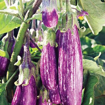 Fairytale Hybrid Eggplant