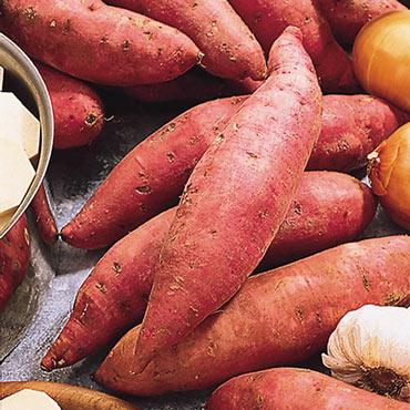 Sweet Potato Bush Porto Rico