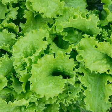 SloBolt Leaf Lettuce