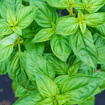 Sweet Basil Herbs
