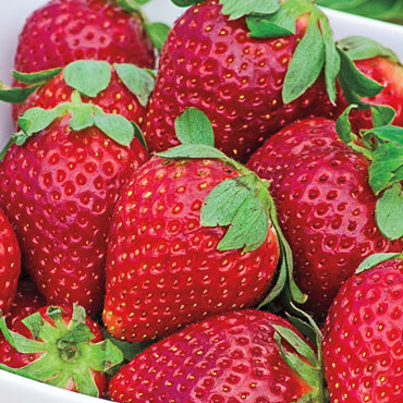 Fort Laramie Everbearing Strawberry