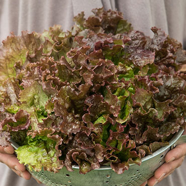 Red Sails Leaf Lettuce