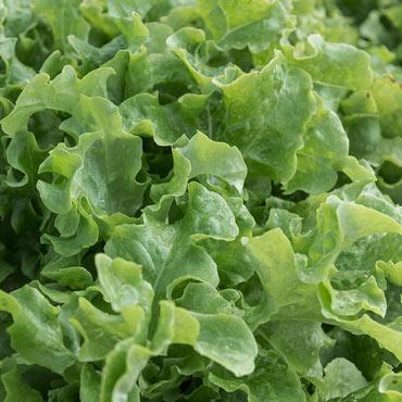 Lettuce Leaf Salad Bowl