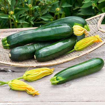 Sqaush Summer Black Magic Zucchini