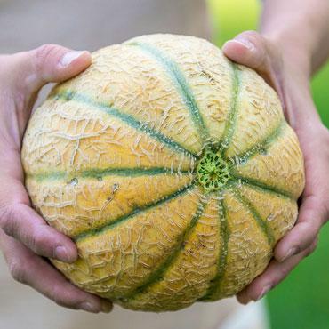 Hannah's Choice Hybrid Cantaloupe