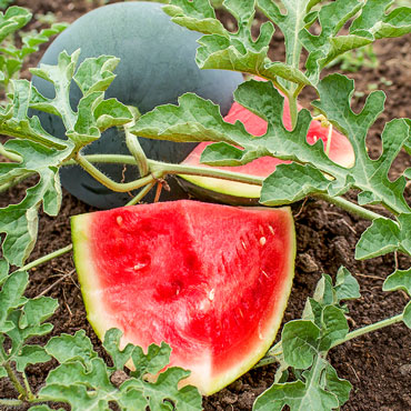 Seedless Wonder™ Hybrid Watermelon