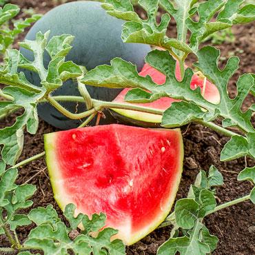 Seedless Wonder™ Watermelon Hybrid