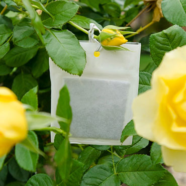 Aphids Away! Beneficial Attractant for Roses