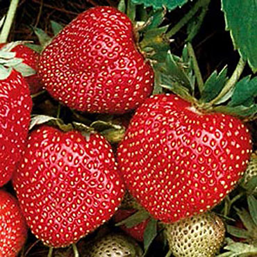 Strawberry Sparkle Supreme