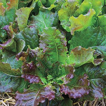 Red Mist Leaf Lettuce