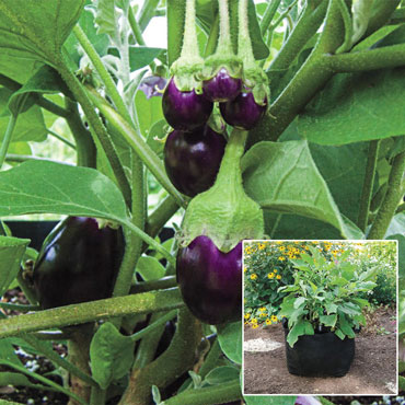 Pot Black Eggplant