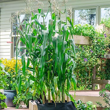 Utopia (sy) Hybrid Sweet Corn