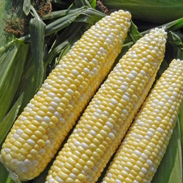 Allure Hybrid Sweet Corn (sy)