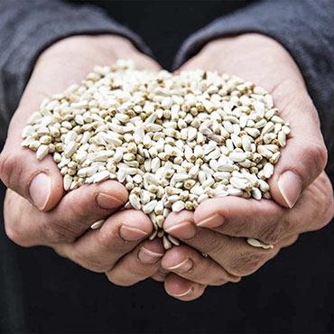 Safflower Seed - Wild Bird Seed