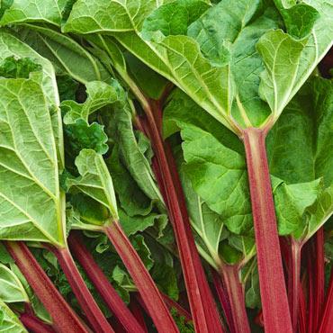 KangaRhu™ Rhubarb
