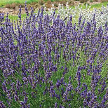 Phenomenal<sup>™</sup> Lavender
