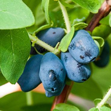 Borealis Honeyberry