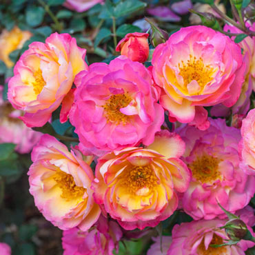 Rainbow Happy Trails<sup>™</sup> Groundcover Rose