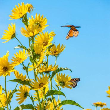 Maximillian Sunflower