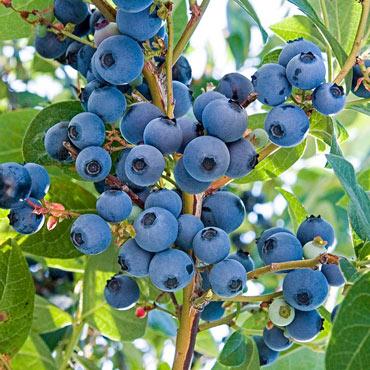 Ka-Bluey<sup>&reg;</sup> Blueberry