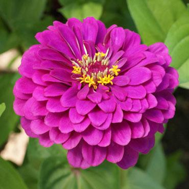 Zinnia Purple Prince Pkt