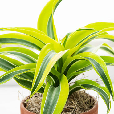 Lemon Surprise Dracaena