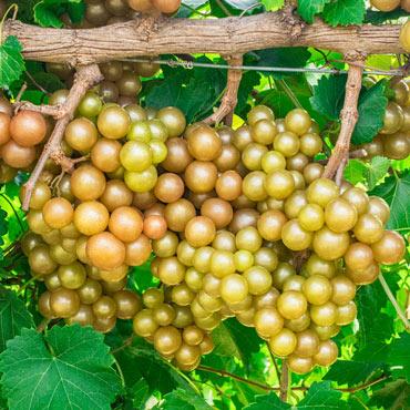 Oh My!<sup>&trade</sup>  Grape U.S. Patent No. 9706726 Restrictive U