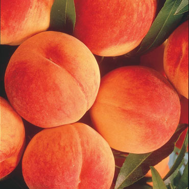 Elberta Peach Reachables<sup>®</sup>