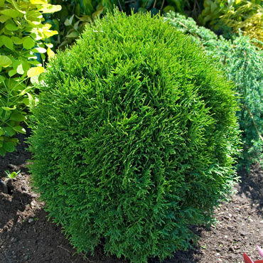 Little Giant Arborvitae Hedge