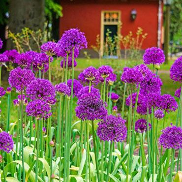 Purple Sensation Allium