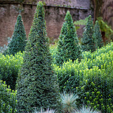 Dark Green Pyramidal Yew