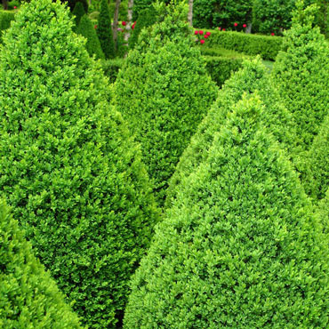 Green Mountain Boxwood Hedge