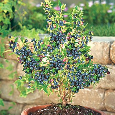 Gurney's<sup>®</sup> Blueberry Success Mix