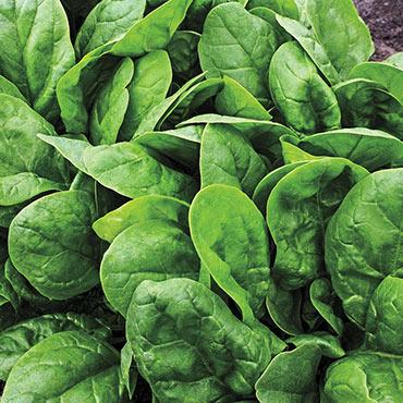 Alexandra Hybrid Spinach