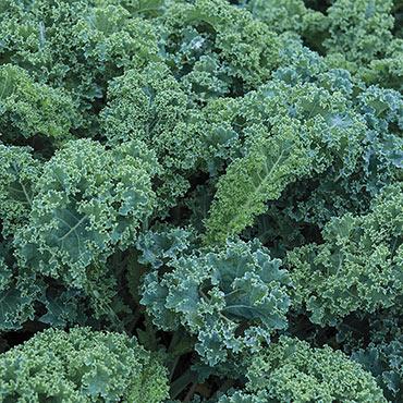 Vates Blue Curled Scotch Kale