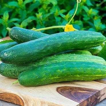 Garden Sweet Burpless Hybrid Slicing Cucumber
