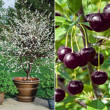 Juliet Dwarf Cherry