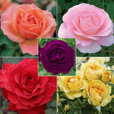 Rainbow of Roses Collection