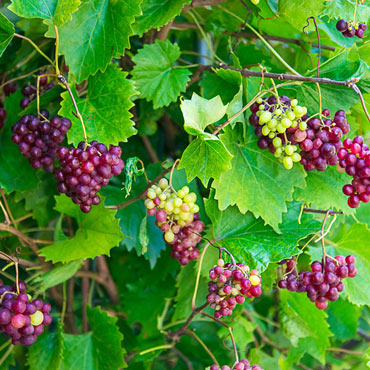 RazzMatazz<sup>&reg;</sup> Grape