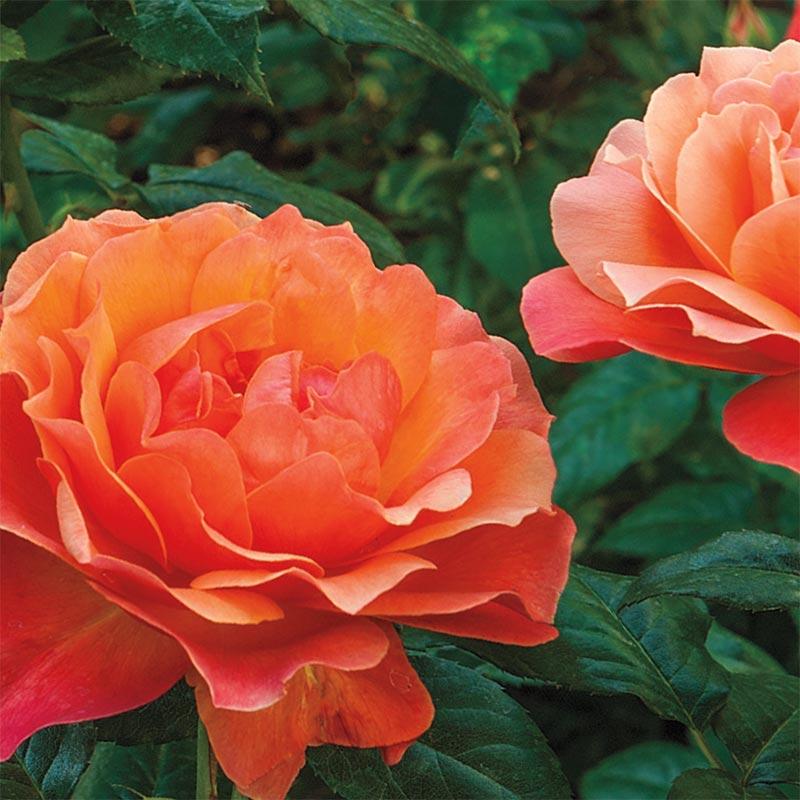 Simple Rose Garden: Living Easy Floribunda Rose